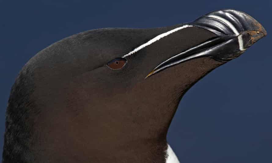 The razorbill (Alca Torda) is a member of the puffin family restricted to the North Atlantic. They nest on rocky cliff faces in huge colonies, in some location reduction in sandeel, their main prey item, has caused reduced productivity and declines.