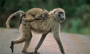 An olive baboon female with her young.