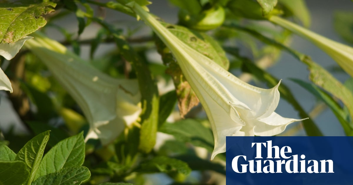 Devil's breath' aka scopolamine: can it really zombify you