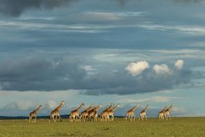 A herd of giraffes meander across a plain in Naboisho Conservancy, Kenya