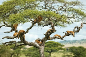 A pride of lions rest in a tree near the Seronera Research Centre in Tanzania's Serengeti national park.