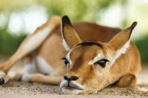 An impala lies on the ground, resting, at the Manyara Ranch, Tanzania.