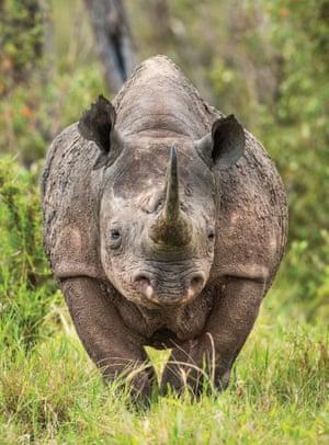 A rhino, phogotraphed in close up, in the Mara Triangle, Kenya.