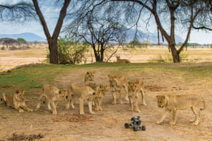 Inquisitive pride of lions take an interest in a remote-control buggy with a camera attached, and which is used to take close-up photographs.
