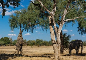 An elephant stands on its hind legs plucking food from a tree in Zimbabwe's Mana Pools national park.