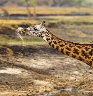 Giraffe flicks its head back after drinking from a stream.