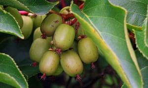 Hardy kiwifruit kiwifruits Actinidia arguta. Image shot 07/2011. Exact date unknown.