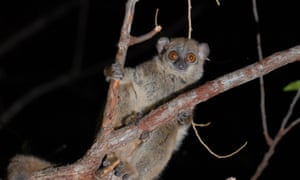 A northern sportive lemur (Lepilemur septentrionalis), one of only around 50 left in the wild. These lemurs are found in the Montagne des Francais area of northern Madagascar.