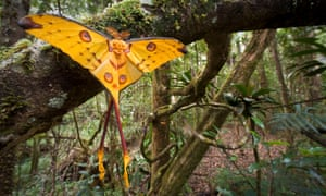 A male comet moth (Argema mittrei) recently emerged and drying its wings in Andasibe-Mantadia National Park, Madagascar. The gorgeous moth is only found in the island nation.