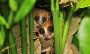 Goodman's mouse lemur (Microcebus lehilahytsara) pair in nest in Masoala National Park, Madagascar. This lemur species was only described by scientists in 2005. It is considered Vulnerable by the IUCN Red List.