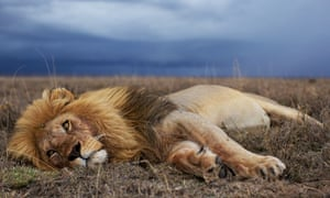 An adult male lion in the Serengeti