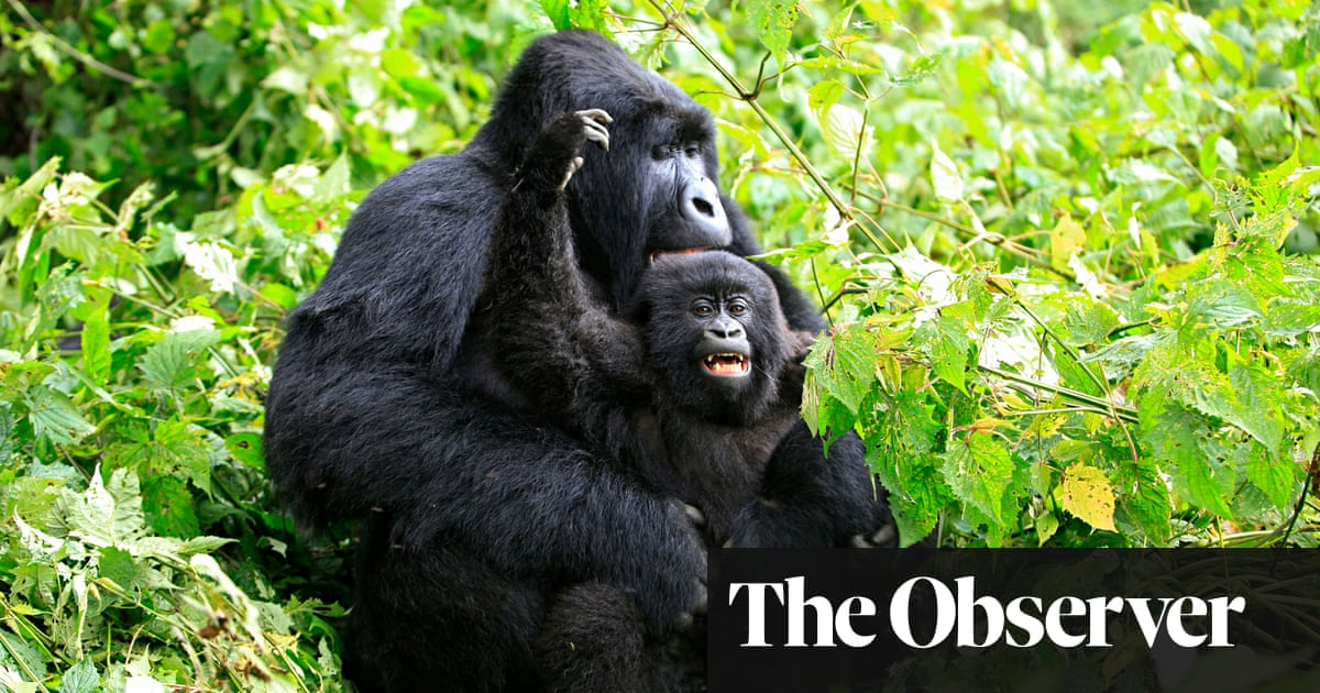 mountain gorillas thriving but a new threat is looming