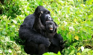Mountain gorillas in Virunga national park in the Democratic Republic of Congo.