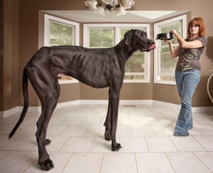 Zeus the Great Dane, recorded as the tallest male dog and the tallest dog ever