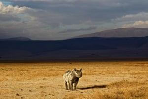 A black rhino stands alone, northern Tanzania