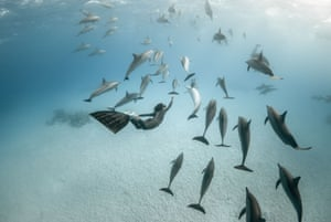 Dolphins swim in the Red Sea