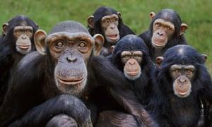 Orphan chimpanzees Monkey World