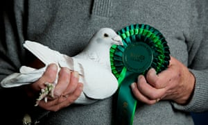 Pigeon fanciers take on RSPB over killer hawks | Environment