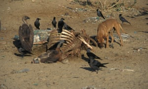 Diclofenac-tainted carcasses caused an unprecedented decline in vulture numbers.