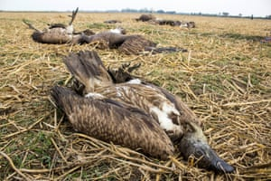 At least 60 vultures died after eating a dead cow near Pani Dihing Bird Sanctuary in Sivasagar, India.