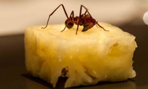 An Amazonian ant served on a pineapple cube.