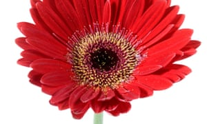 Friends in high places: a gerbera, one of Nasa's recommended air purifiers.