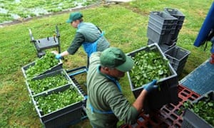 Migrants load watercress on to a lorry near Alresford