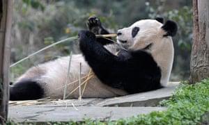 Giant panda Tian Tian