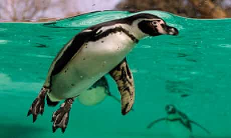 A Humboldt penguin at London Zoo