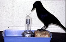 Remarkable animals: Betty the crow