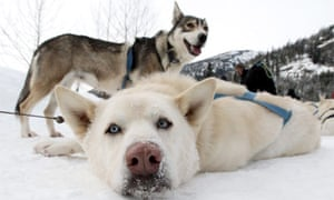 Sled dogs Whistler, BC, Canada