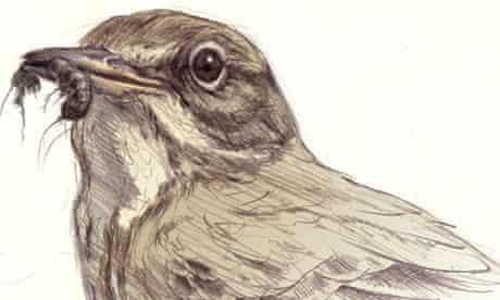 birdwatch rock pipit