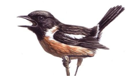 stonechat birdwatch