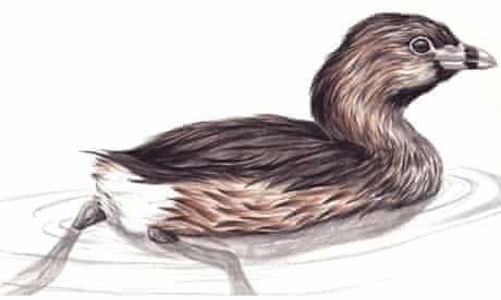 pied billed grebe