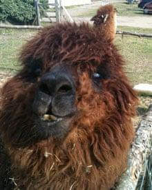 Machu the alpaca