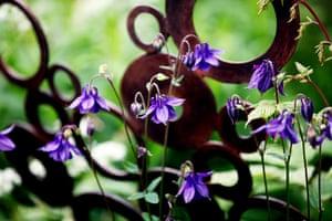 Chelsea plant trends: Aquilegia vulgaris