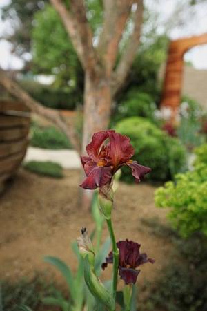 Chelsea plant trends: Iris 'Langport Wren'