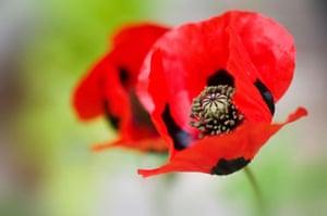 Chelsea plant trends: Ladybird poppy