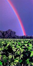 A rainbow appears over a soybean (soya bean) field in Springfield, Ill.