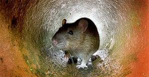 Rat / vermin / rodent / pest