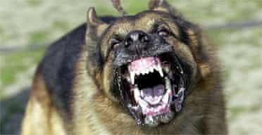 Aggressive dog / bite / bark / growl / German Shepherd