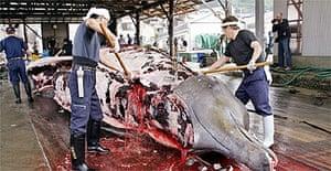 Fishermen slaughter a 10m-long bottlenose whale / whaling