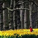 Daffodils in full bloom in St James's Park
