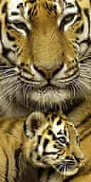 An Amur tiger and cub at Edinburgh Zoo