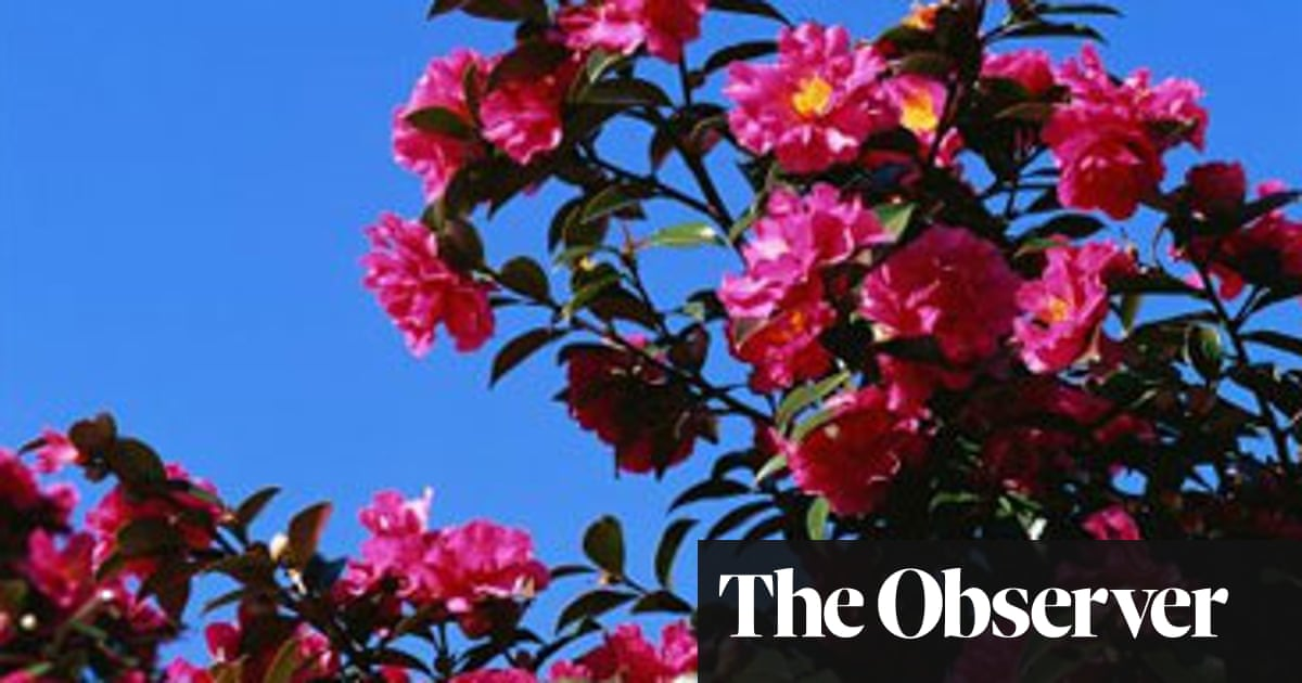 Autumn Blooming Queen Camellia Life And Style The Guardian