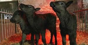 Wagyu calves
