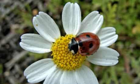 A ladybird on a flower in an eco-garden