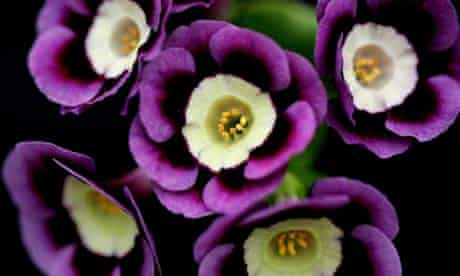 A  Primula Auricula Lilac Domino at the Chelsea Flower Show