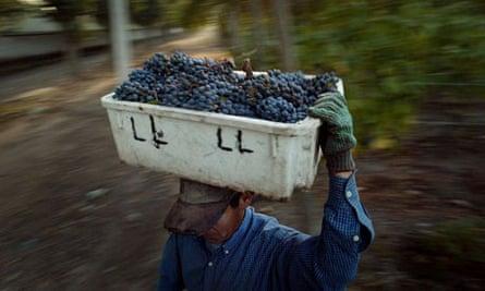 Wine: A Chilean worker carries cabernet sauvignon grapes