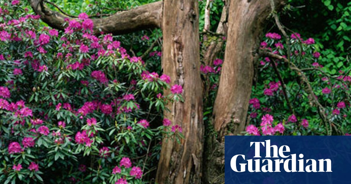 Gardens Rhododendrons The Big Easy Life And Style The Guardian